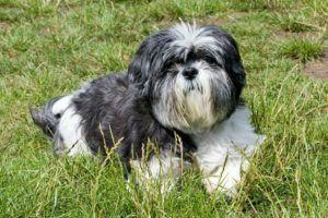 Giving This To Your Shih Tzu Daily Could Help Alleviate Painful Skin Allergies