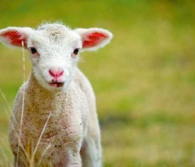 5 expert tips for how to raise fat healthy lambs