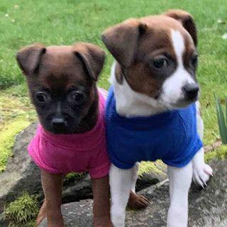 """""""COCO"""" and """"MIGUEL"""" Available Thursday - american shelter dog Puppies"""