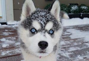 These 3 Genetic Conditions Could Put Clouds In Your Husky's Gorgeous Eyes