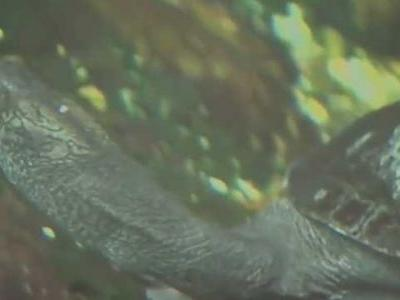 Animal bandit makes off with Squishy the turtle from Houston Zoo