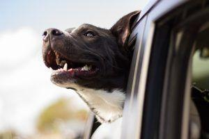 3 Reasons Why Your Dog Shouldn't Stick His Head Out Of A Moving Vehicle