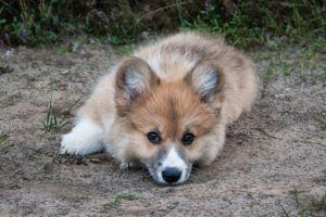 Giving This To Your Corgi Daily Could Help Alleviate Painful Skin Allergies