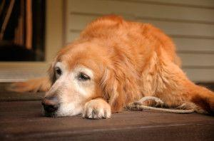Senior Dog Behavior Problems: Pica in Dogs