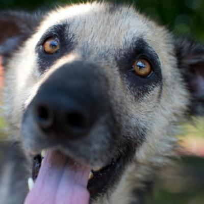 """ADONIS"" sweetheart ""racoon eyes"" German Shepherd mix - needs TLC"
