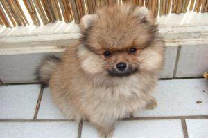 3 Things All Pomeranian Owners Should Know