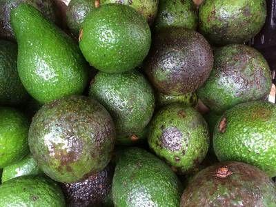 Avocado mania continues to suck Chile dry