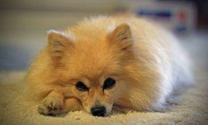 3 Amazing Ways To Honor A Pomeranian Who Passed Away