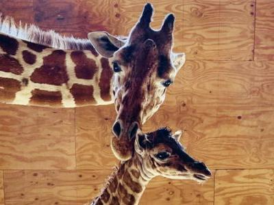 Internet Sensation April The Giraffe Going On Birth Control, Having No More Babies