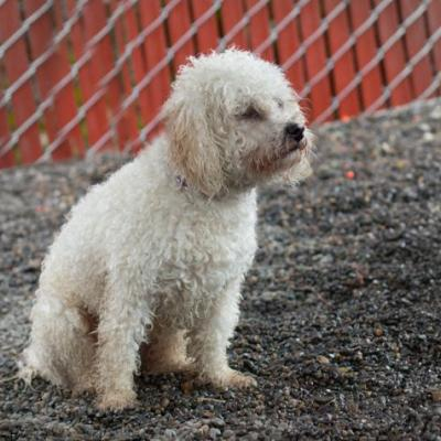 """""""COCO"""" young Poodle mix"""