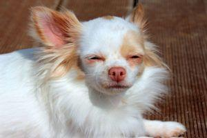 Giving This To Your Chihuahua Daily Could Help Alleviate Painful Skin Allergies