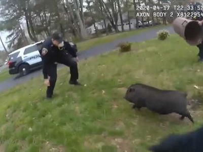 WATCH: Officers struggle to capture runaway piggy for 45 minutes