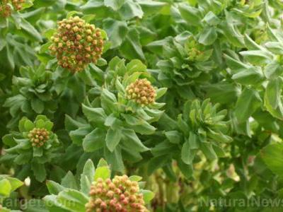Extend the quality of your life with rhodiola