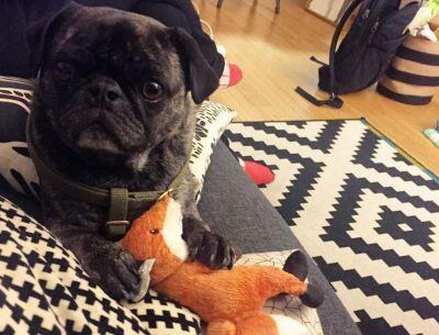 Rudy the pug needs your help to get his favourite toy fox
